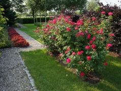 Rosa 'Belle de Province'